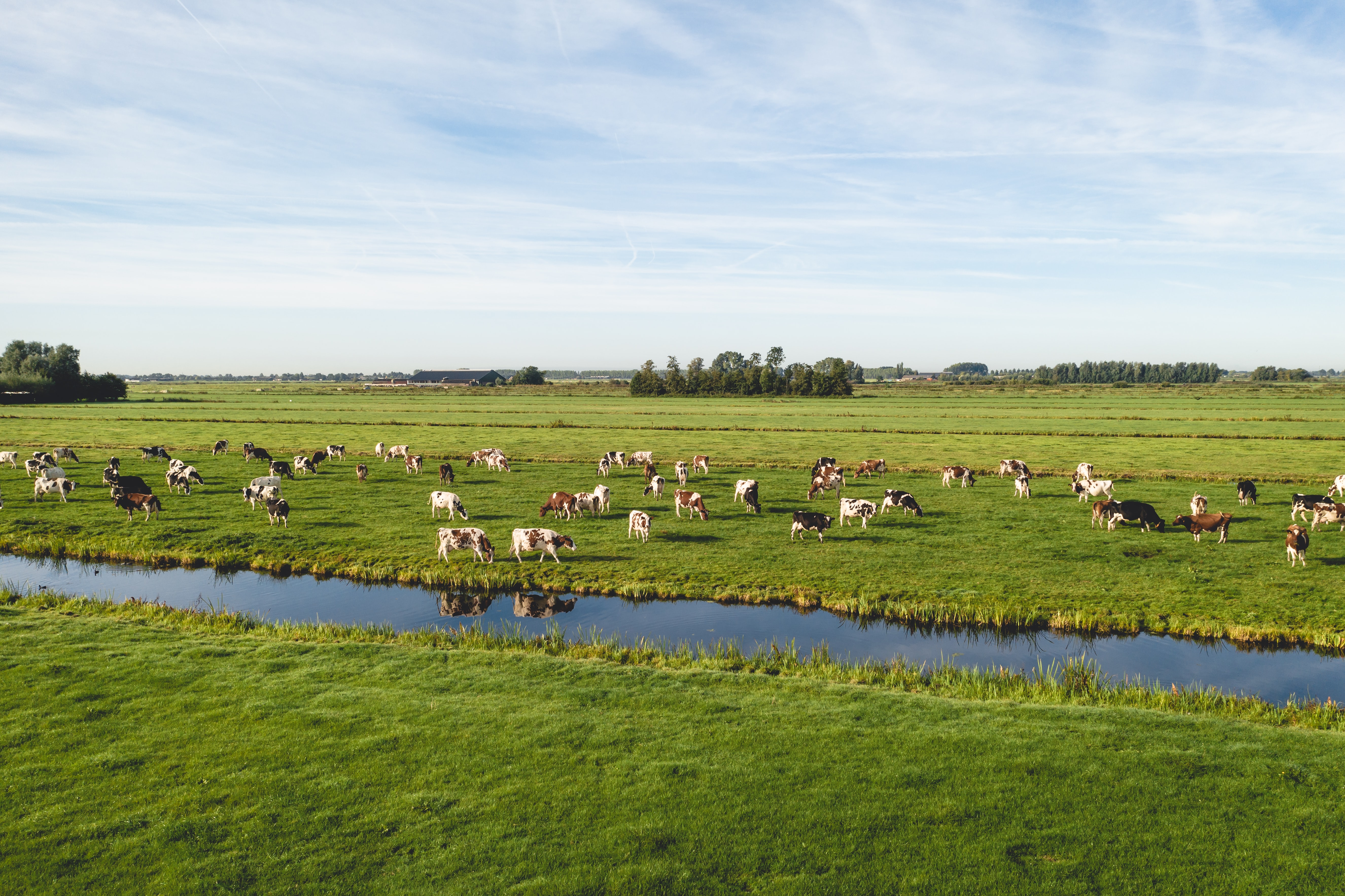 Cattle eating grass on Dutch pasture near canal
